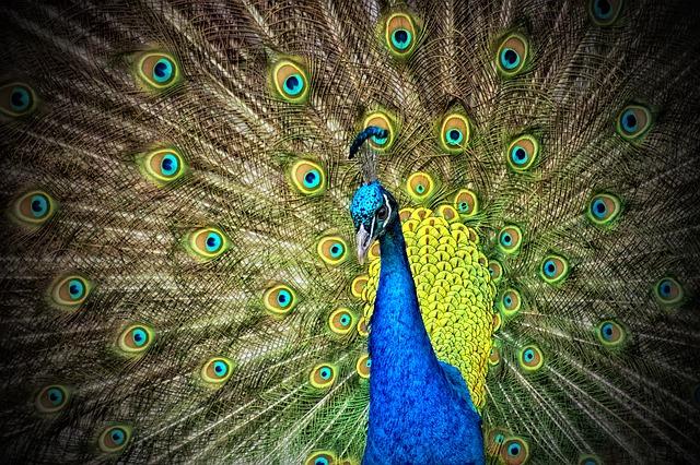 peacock-50515_640