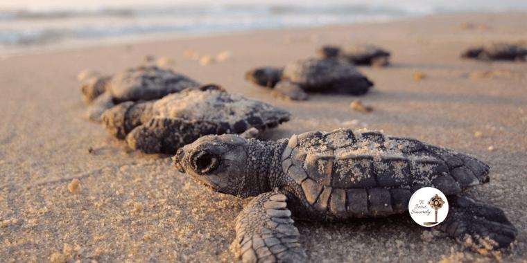 Fertile Myrtle Turtle Family Secondary Infertility